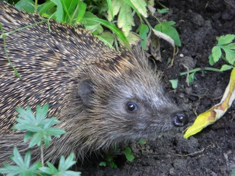 Gijs the Hedgehog - are you looking at me?