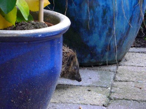 Gijs the hedgehog