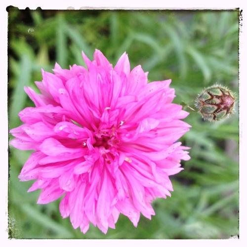 Pink Cornflowers