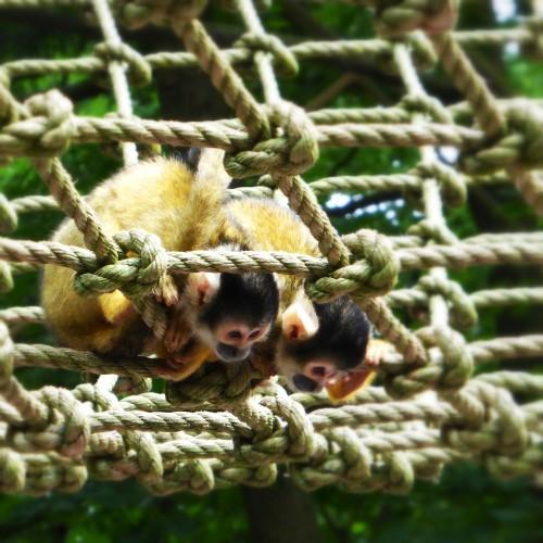 Curious monkies